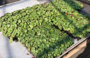 シクラメンや春物の花壇の小さな苗