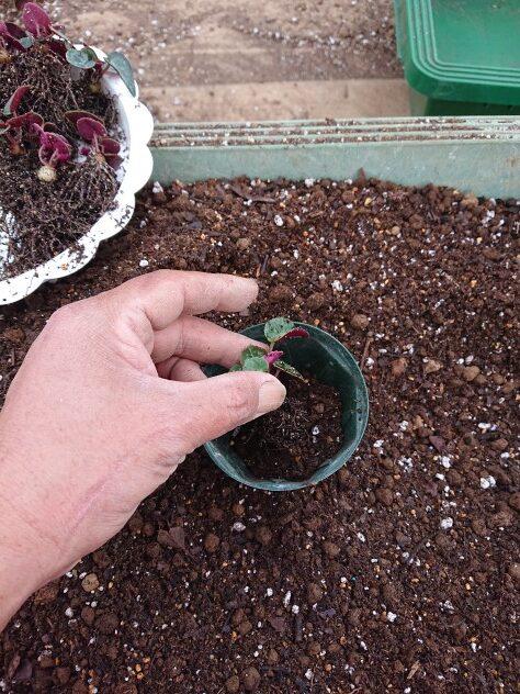 シクラメンの植え替え作業