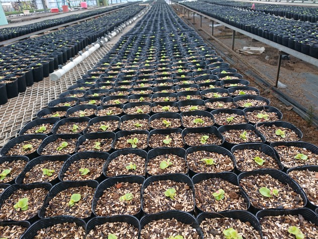 ベゴニア苗植え込み
